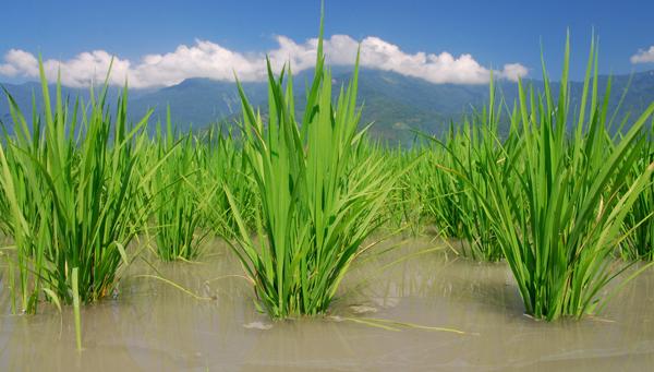 Pakistan Rice Exporters