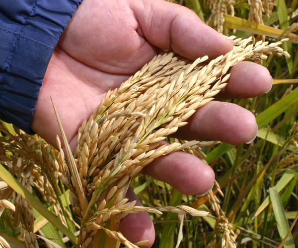 Pakistan Rice Registration Certificates